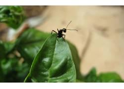 蚂蚁,罗勒,宏,树叶,昆虫,动物3780