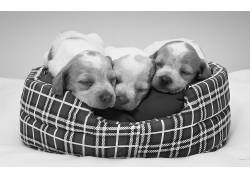 三只睡觉的小狗高清图片