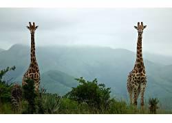 动物,长颈鹿,薄雾,丘陵136499