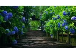 楼梯,绣球,树叶,花卉,蓝色的花朵,摄影,壁纸,蓝色184933