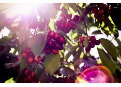 植物,樱桃,水果,樱桃(食物)286879