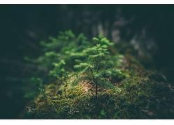苔藓,景深,植物,云杉,冷杉471799图片