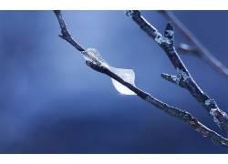 树枝,宏,霜,壁纸,蓝色背景,植物116039