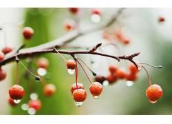 树枝,水滴,景深,水果,宏,植物,樱桃(食物)16242