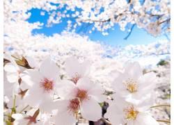 樱花,日本,晴朗的天空,花卉,壁纸141525