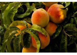 桃子,餐饮,植物,水果551498