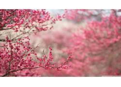 樱花,日本,花卉,粉色的花朵,植物51284
