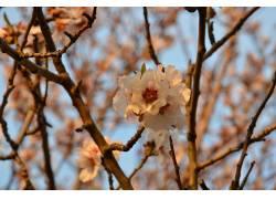 樱花,樱桃树,中文,植物,花卉187952