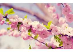 樱花,花卉,粉色的花朵,植物60494