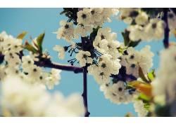 樱花,花卉38887