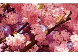 樱花,花卉489890