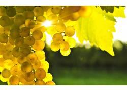 葡萄,阳光,宏,树叶,模糊,浆果,水果,植物38892