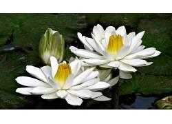 水,白色,绿色,湖,壁纸,宏,花卉,植物864