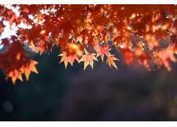 植物,秋季,树叶196860