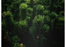植物,科,壁纸,松树425809