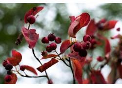 植物,红,树叶648109