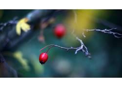 浆果,壁纸,树枝,景深,植物116066图片