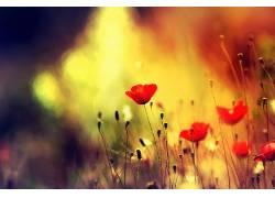 植物,罂粟,花卉,红色的花朵289521