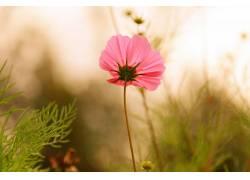 植物,花卉,粉色的花朵,壁纸338057