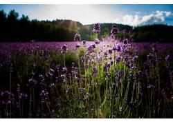 植物,花卉,紫色的花朵,薰衣草,领域,阳光,壁纸338012