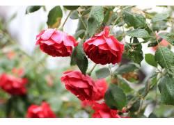 植物,花卉,红色的花朵,树叶,水滴290985