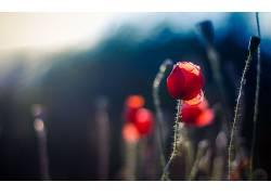 植物,花卉,红色的花朵478786