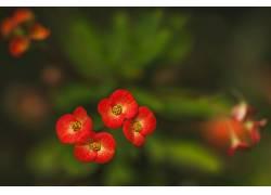 植物,花卉,红色的花朵594942