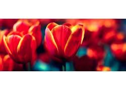 郁金香,红,花卉,壁纸364308