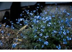 植物,壁纸,花卉,勿忘我穷人,蓝色的花朵231502