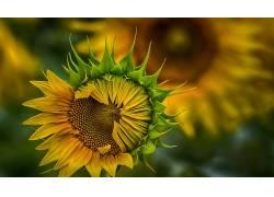 植物,花卉,向日葵,黄色的花朵548240