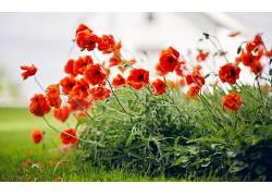 植物,花卉,壁纸,红色的花朵,罂粟358427