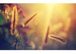 植物,壁纸,阳光,草,小穗,宏23733图片