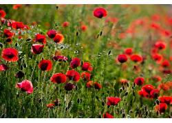 植物,花卉,壁纸,领域,红色的花朵379488