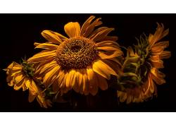 植物,花卉,壁纸,黄色,黑暗的背景635335