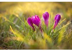 植物,花卉,番红花,壁纸,草,阳光,紫色的花朵176710