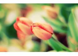 郁金香,花卉,景深,植物57196图片