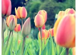 郁金香,荷兰人,荷兰,花卉,三叶草,植物37158图片