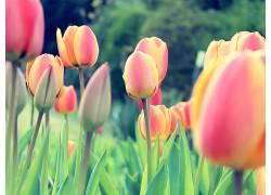 郁金香,荷兰人,荷兰,花卉,三叶草,植物37162图片