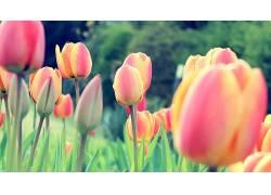 郁金香,荷兰人,荷兰,花卉,三叶草,植物37163图片