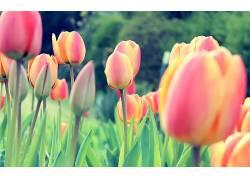 郁金香,荷兰人,荷兰,花卉,三叶草,植物37164图片