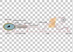 顶体反应Spermatozoon Zona pellucida,精子PNG剪贴画杂项,角度,