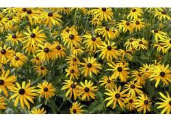 105880,地球,黑眼睛,苏珊,花,领域,花,黄色,花,壁纸