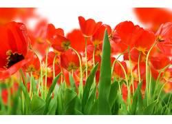 109186,地球,郁金香,花,花,壁纸图片