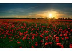 109552,地球,罂粟,花,领域,玫瑰,风景优美的,日落,花,日出,太阳,图片