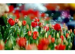 103218,地球,郁金香,花,花,气泡,壁纸图片