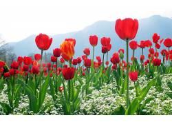 103219,地球,郁金香,花,花,红色,花,壁纸图片