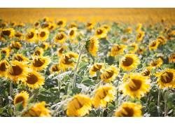 101700,地球,向日葵,花,领域,花,法国,黄色,花,快活的,Bokeh,壁纸图片