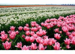 103609,地球,郁金香,花,花,领域,白色,花,粉红色,花,壁纸图片