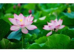 103687,地球,莲花,花,花,粉红色,花,壁纸图片