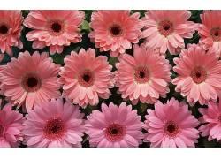 107412,地球,大丁草,花,花,壁纸图片